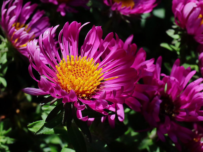 Dark pink Michaelmas daisy flowers