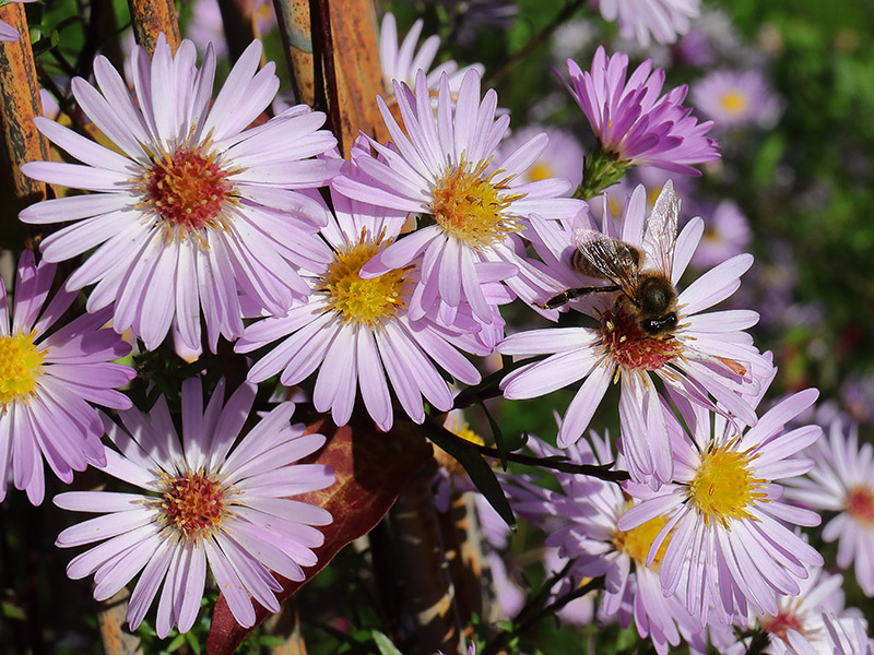 Honeybee on pink Michaelmas daisies