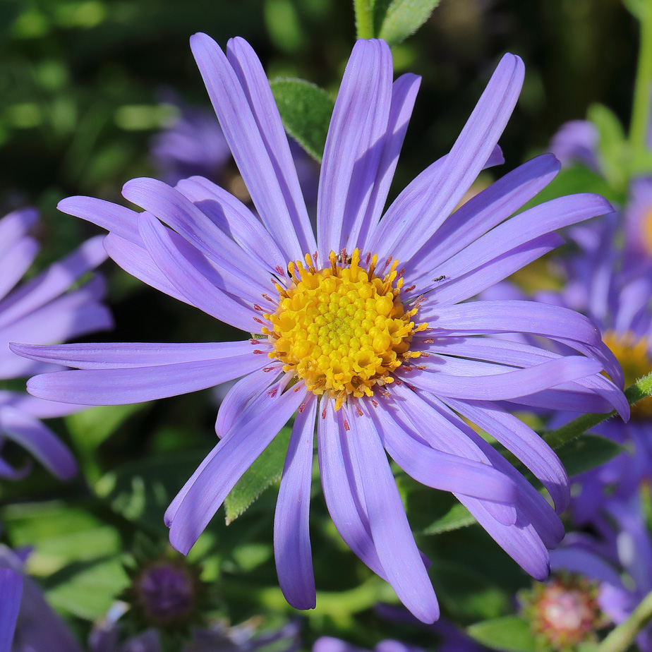 A Daisy by Any OtherName