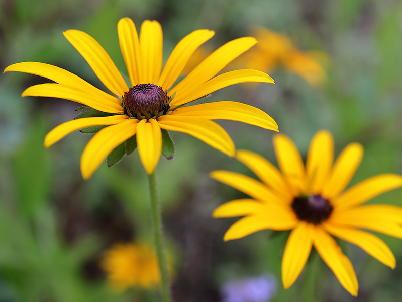 Rudbekia 'Goldsturm' flower