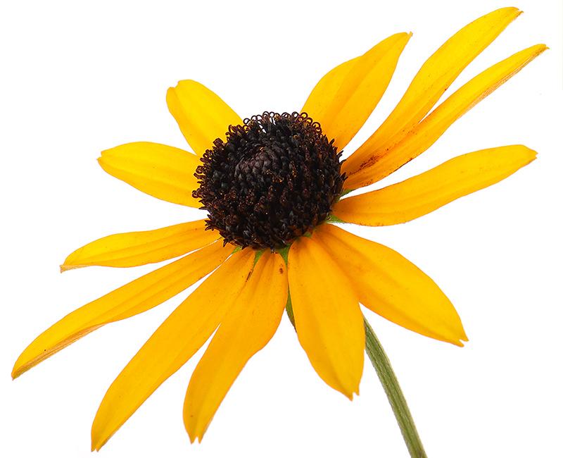 Rudbekia 'Goldsturm' flower