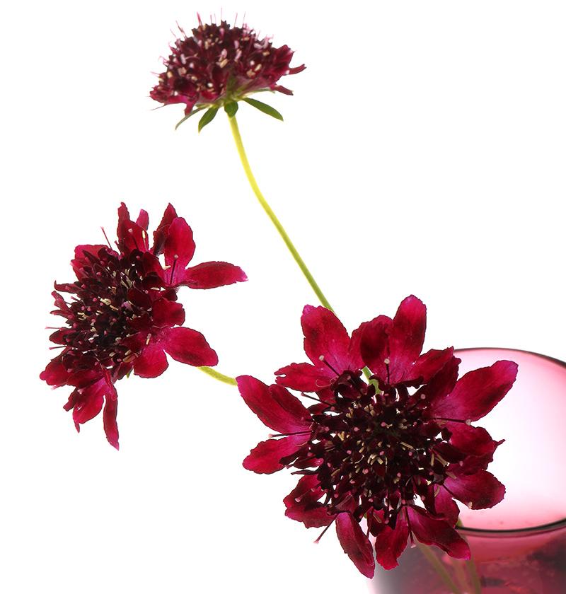 Scabiosa atropurpurea flowers (scabious 'Chile Black')