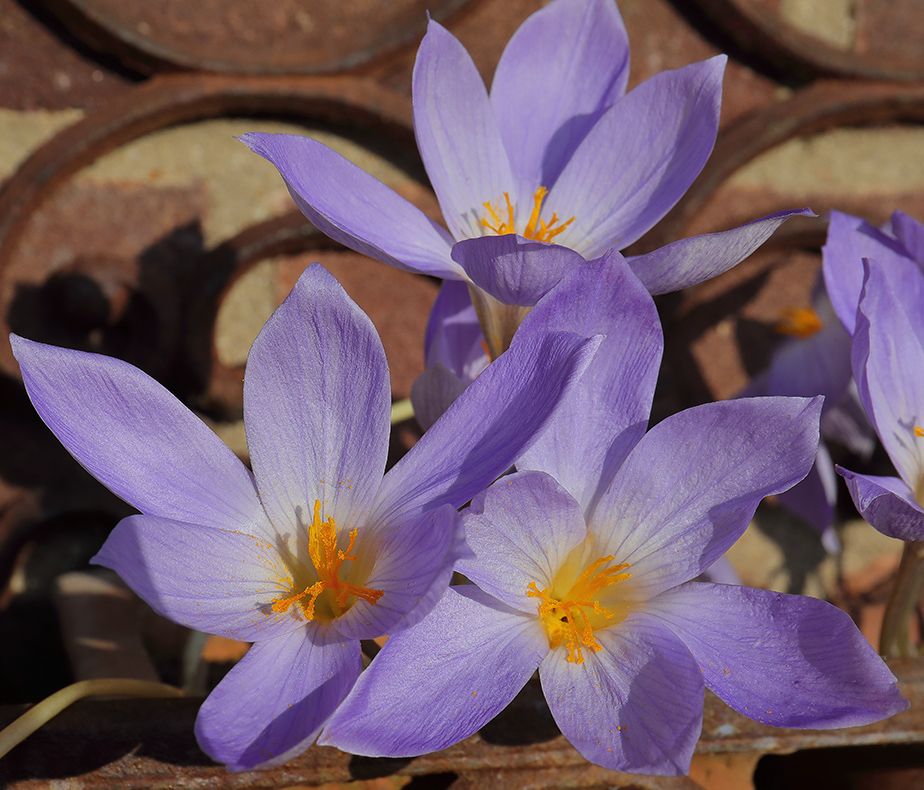 Autumn crocuses in flower