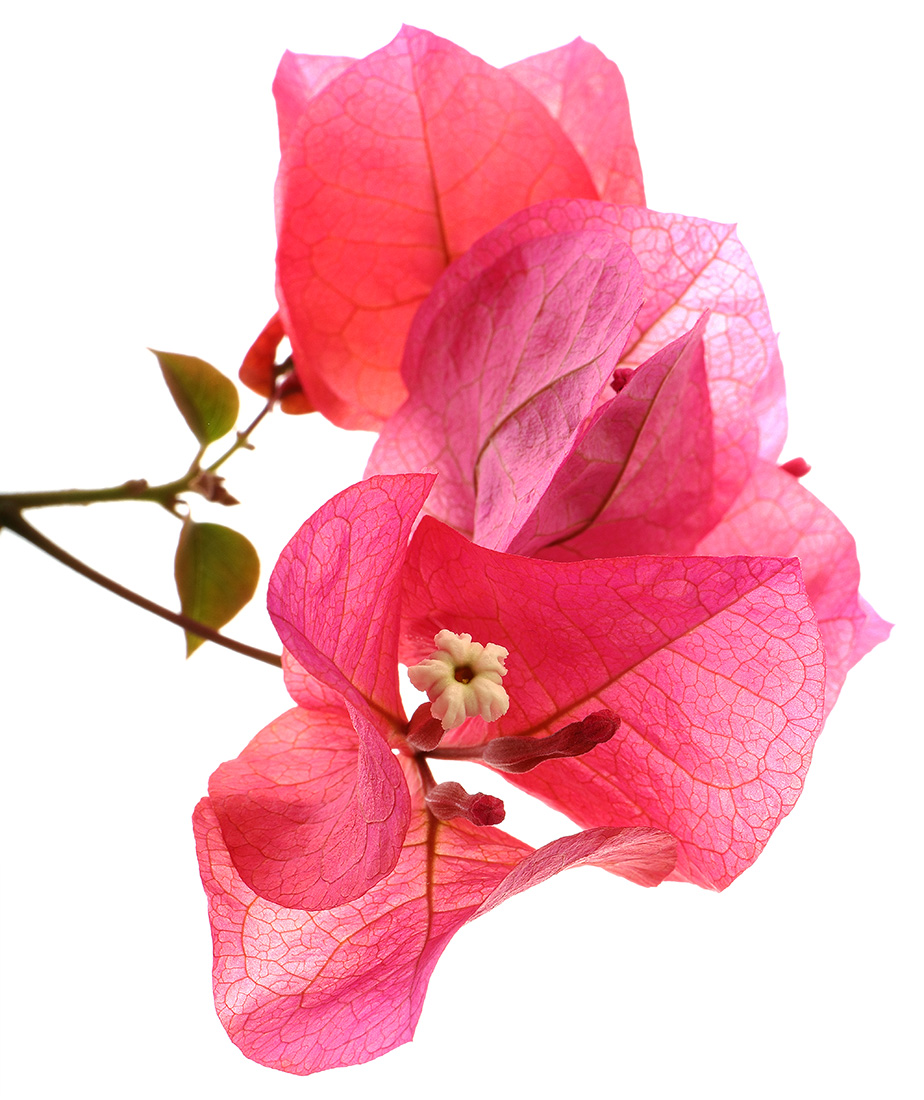 Brilliant Bougainvillea