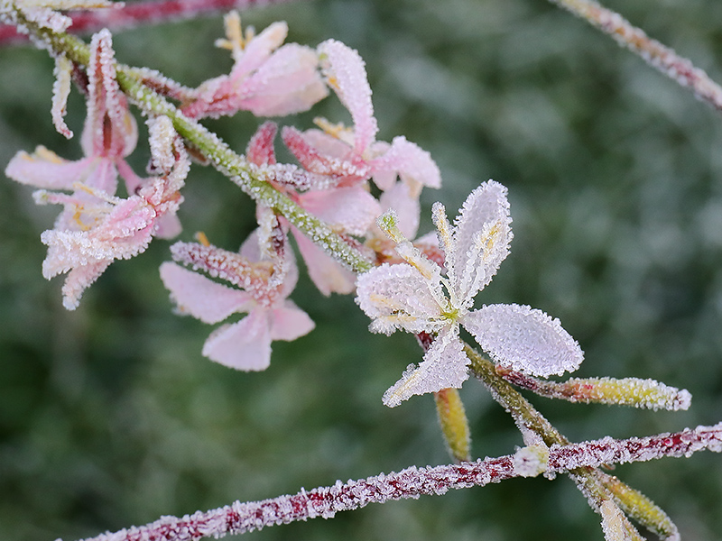 Frosted gaura flowers