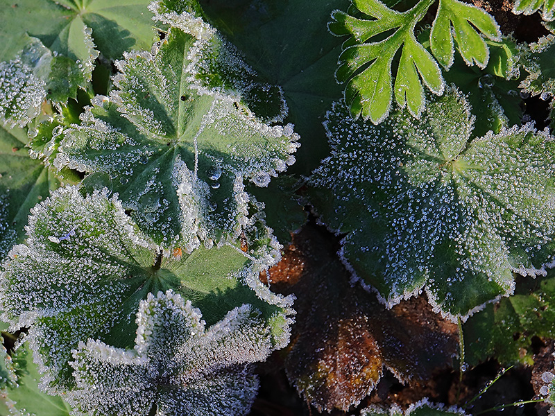Frosted leaves of Alchemilla mollis