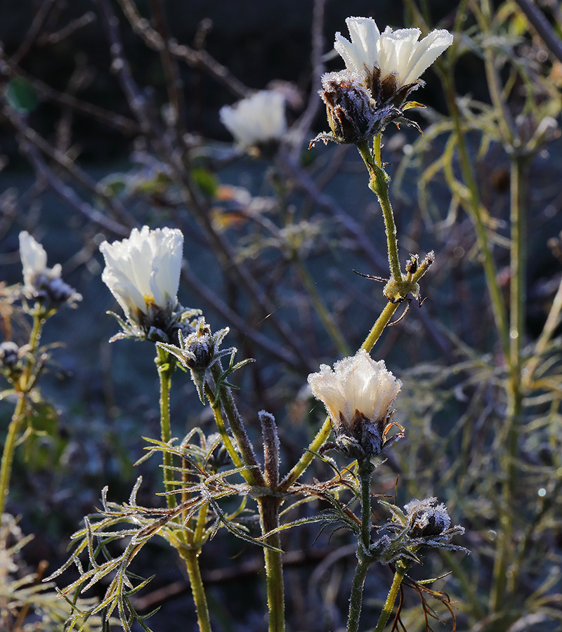 Frosted flowers of Cosmos