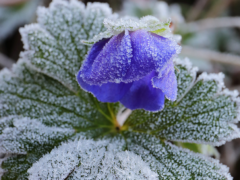 Frosted flower of Geranium 'Rozanne'