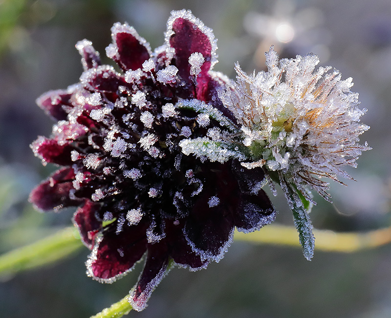 Frosted flower of Scabiosa atropurpurea