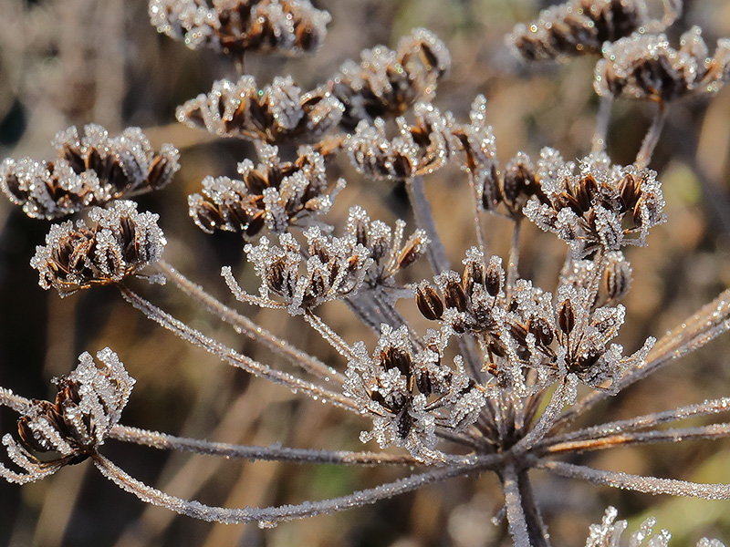 frosted fennel seed head