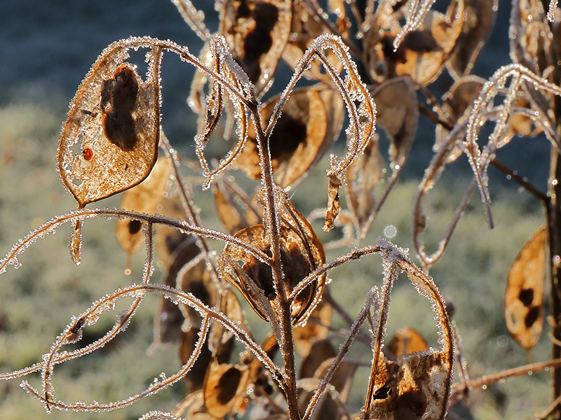 frosted honesty seed pods