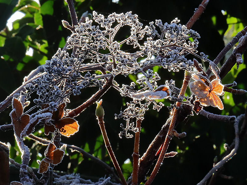 frosted hydrangea