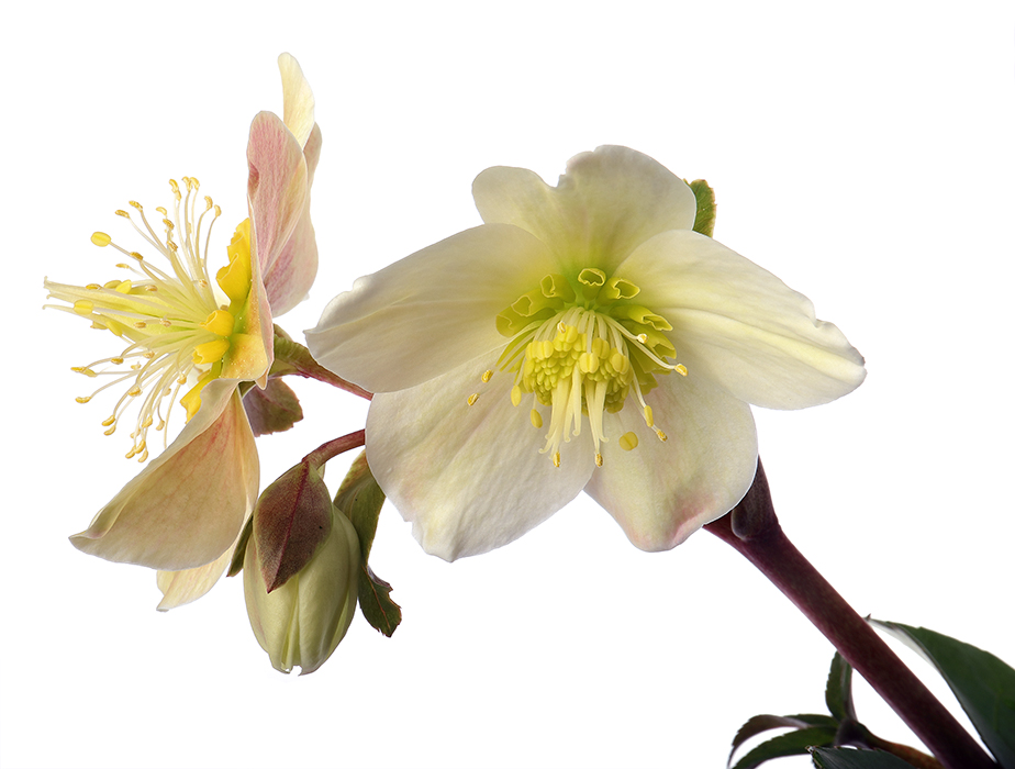 Winter Delight: Hellebores