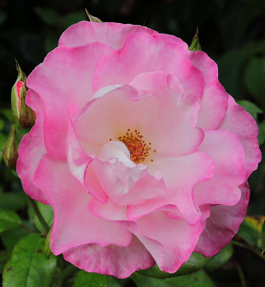 Climbing rose 'Handel'