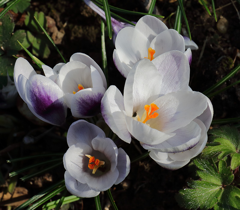 Flowers of Crocus 'Prins Claus'