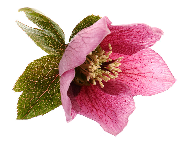 A pink hellebore flower