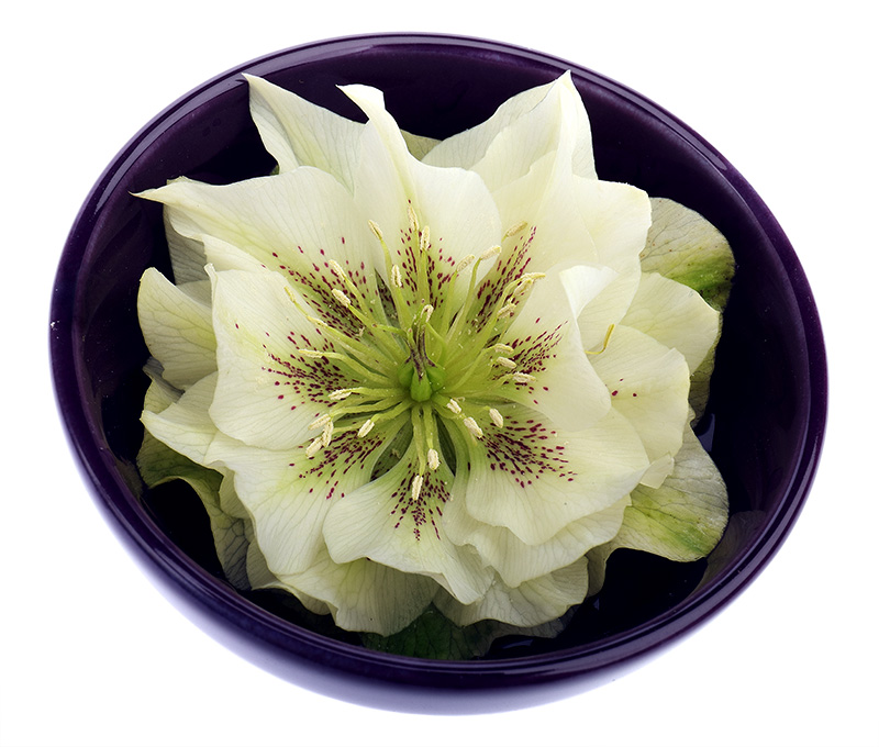 Cream-coloured hellebore flower
