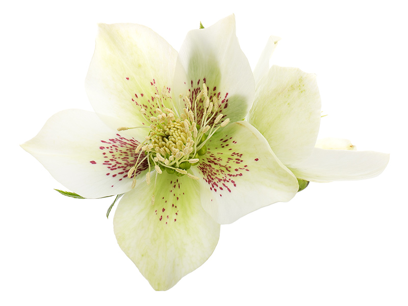 Pink-speckled white hellebore flowers