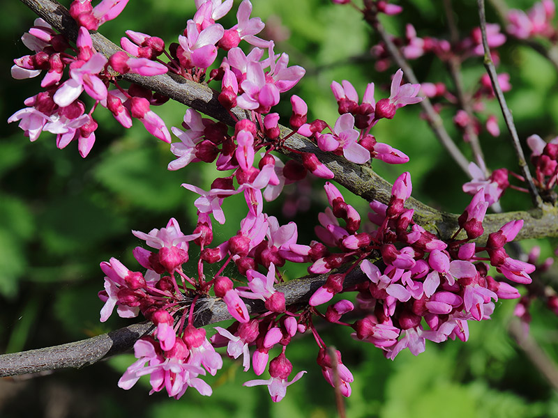Redbud tree flowers