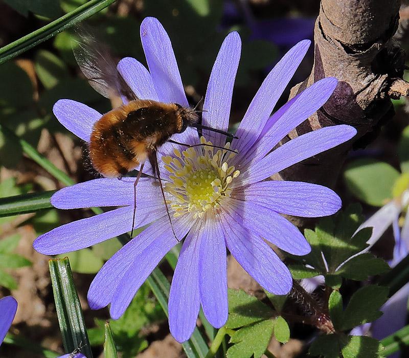 A bee-fly enjoying an Anemone blanda flower