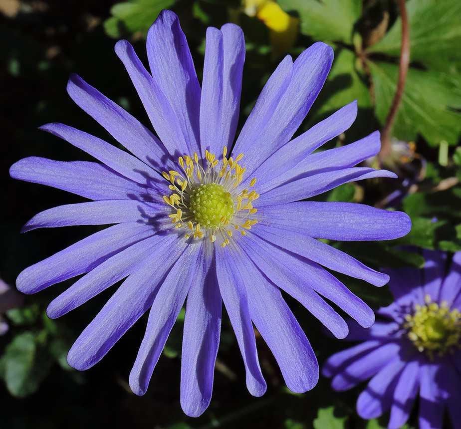 Close-up of a violet-blue Anemone blanda flower.