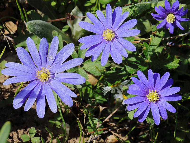 Blue Anemone blanda flowers