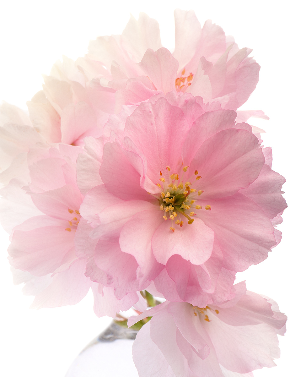Frothy Pinks: CherryBlossom