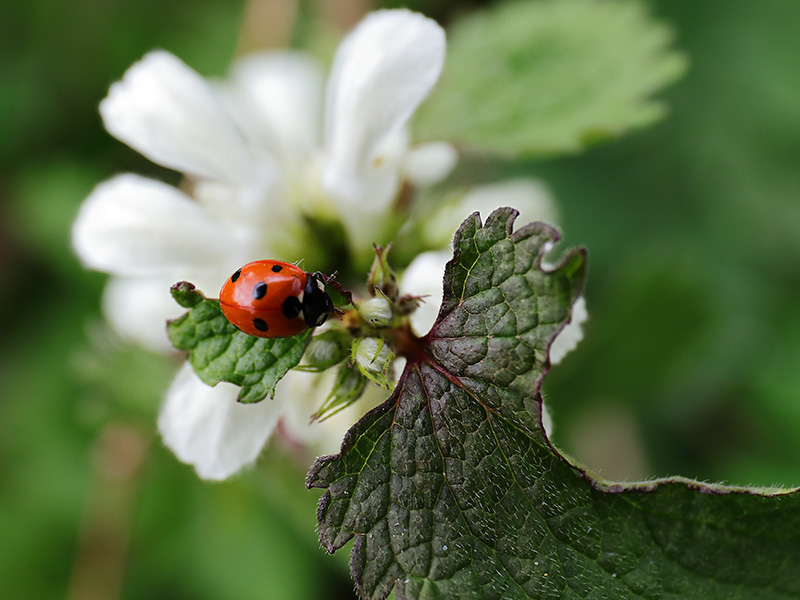 Ladybird on deadnettle
