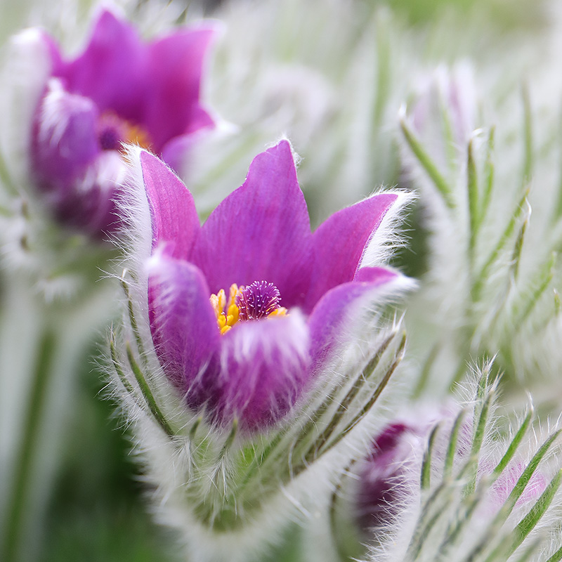 Pulsatilla vulgaris (pasqueflower)