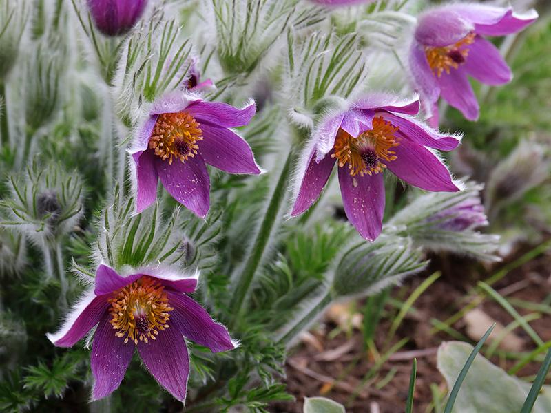 Pulsatilla vulgaris (pasqueflower)