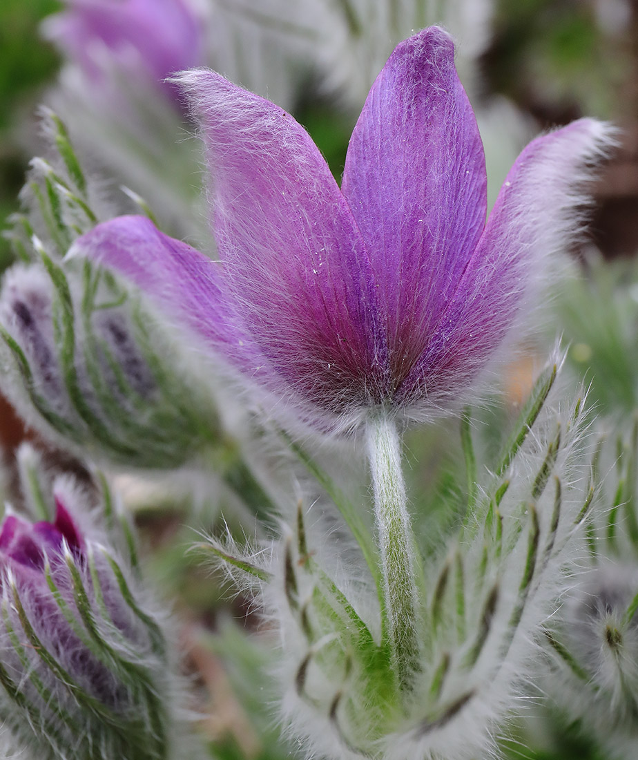 Fluffy Flowers for Easter: Pasqueflowers