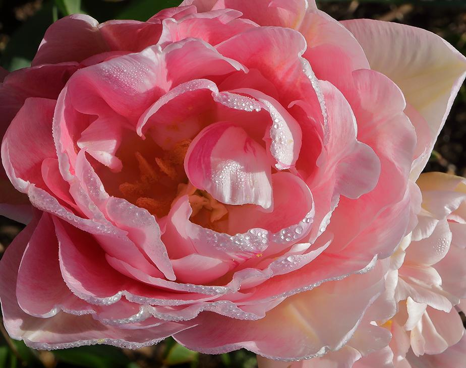 Something Sweet: PinkTulips