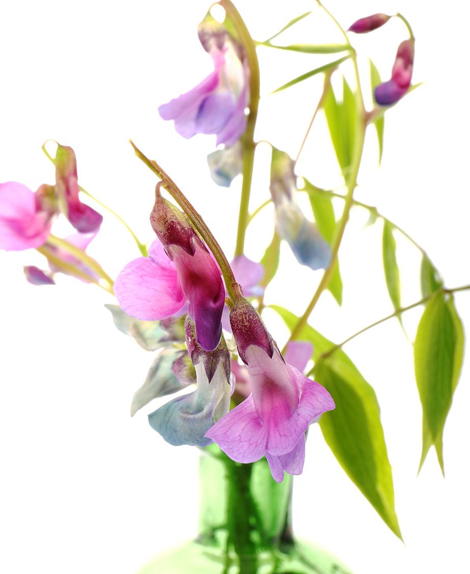 Tiny Beauty: SpringVetchling