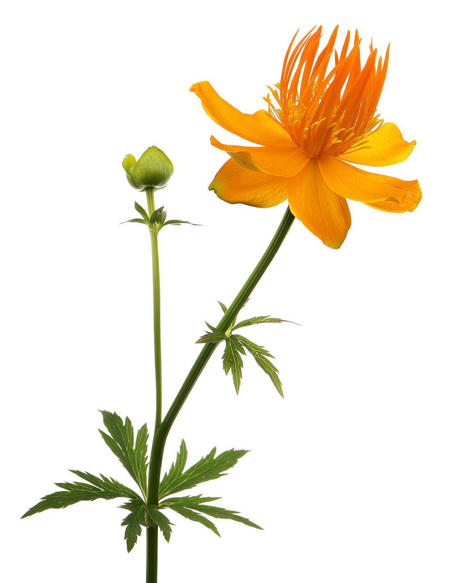 Trollius: Golden Globeflowers