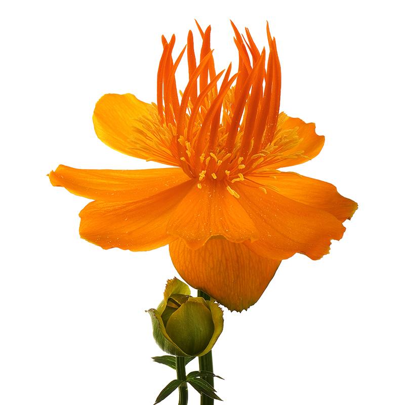 Trollius 'Golden Queen' (globeflower)