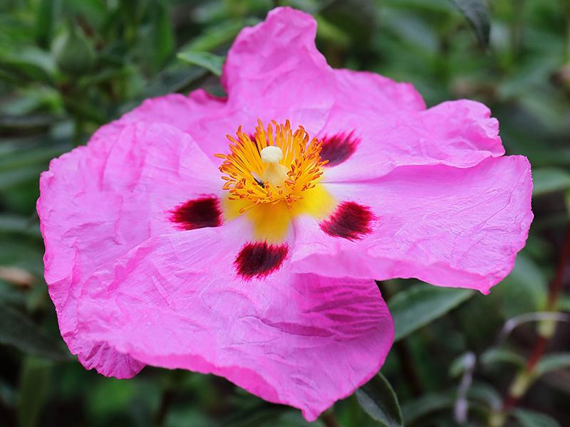 Rock rose flower (Cistus)