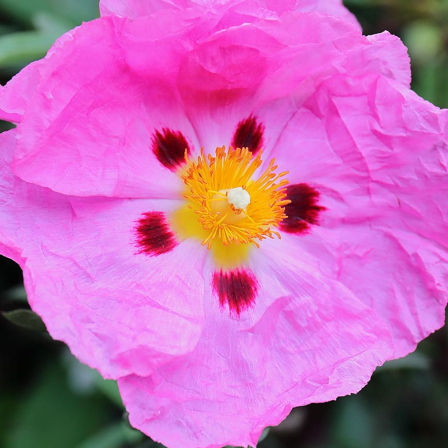 Crumpled Tissue Flowers:Cistus