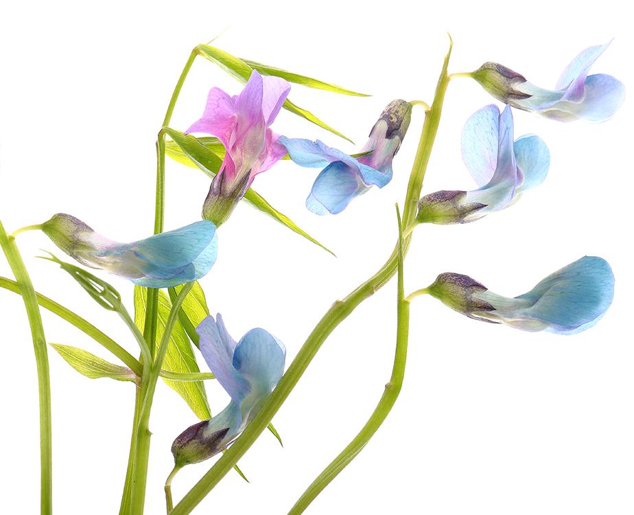 Gone Blue: Colour-ChangingFlowers