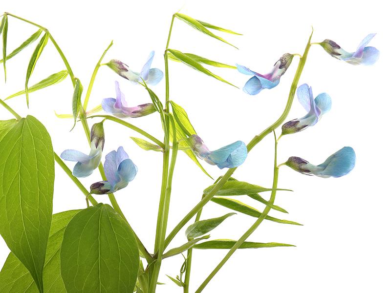 Lathyrus vernus (spring pea) flowers