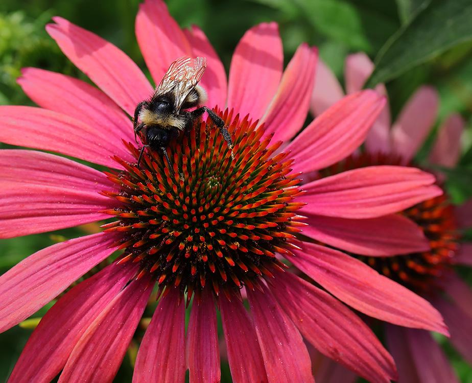 Bumblebee on echinacea flower