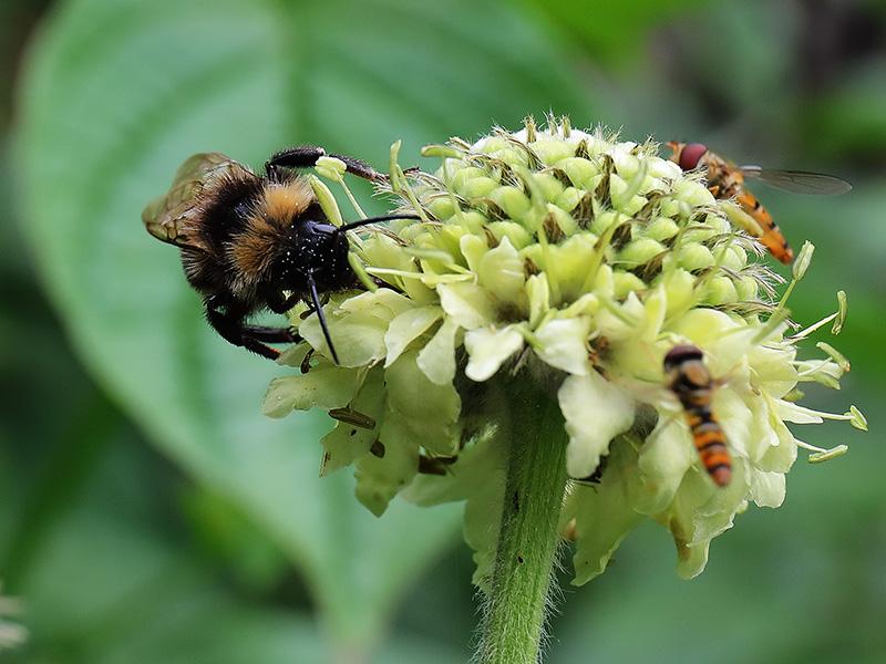 Bee on Cephelaria gigantea (giant scabious)