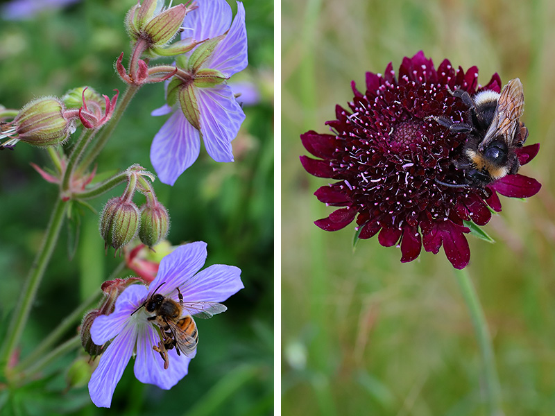 L: Honeybee on geranium, R: Bumblebee on scabious flower
