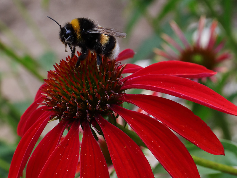 Bee on red echinacea flower