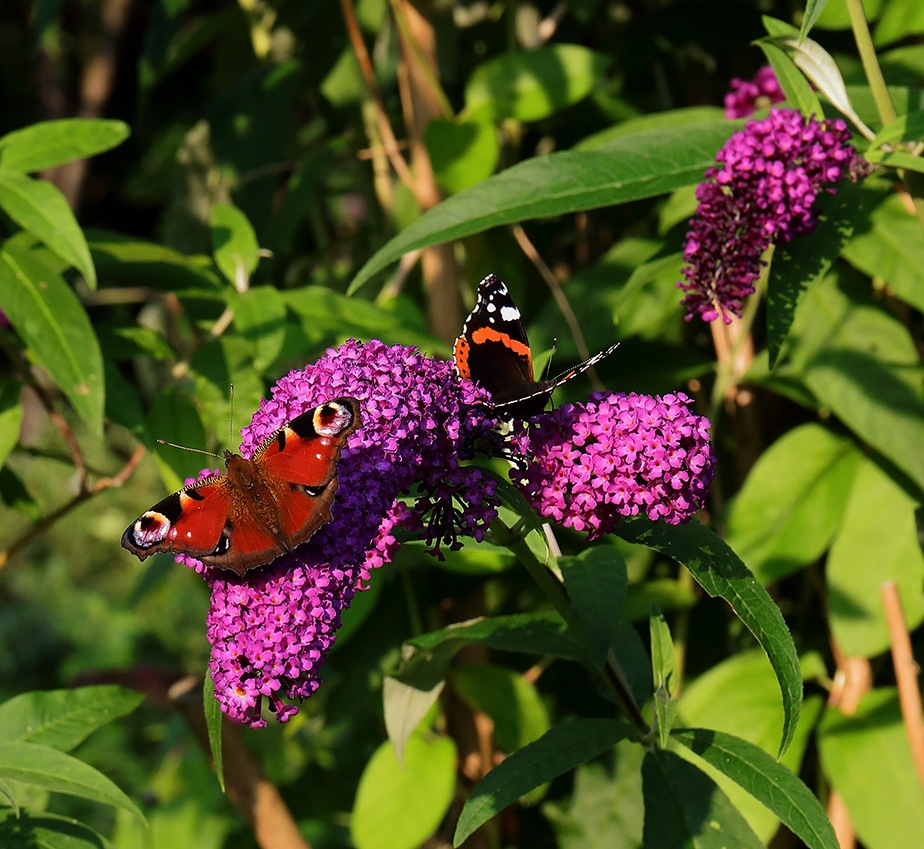 Out for the Big ButterflyCount