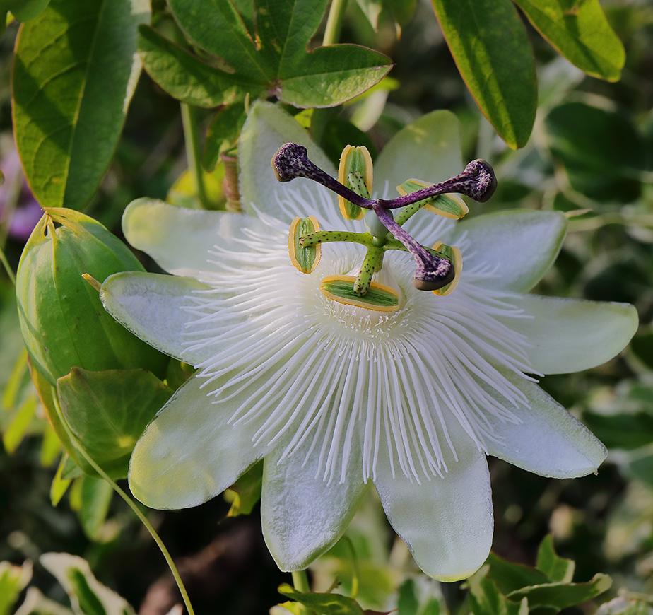 Much Missed: WhitePassionflower