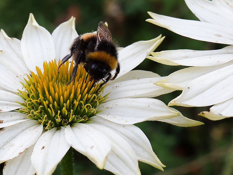 Bumblebee on white echinacea