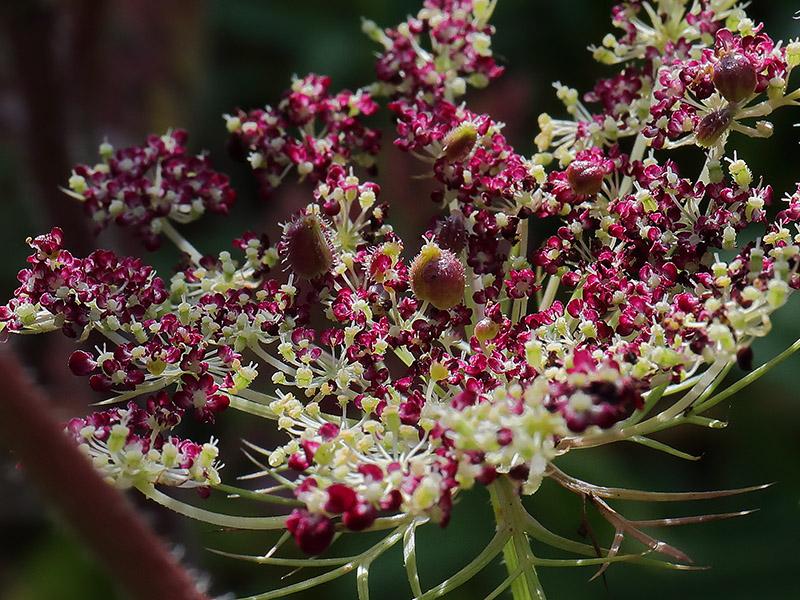Wild carrot (Daucus carota) flower head.